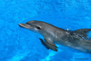 Picture of dolphin; Actual size=130 pixels wide